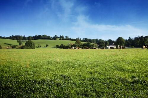 Kühe im Almenland neben dem Radweg